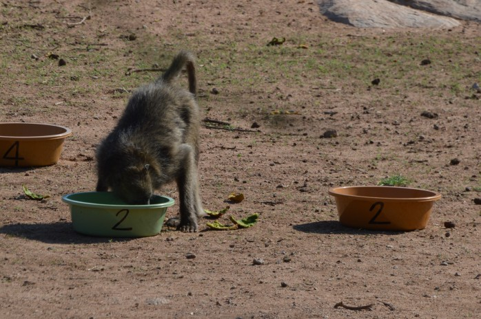 Baboon eating from bucket pair