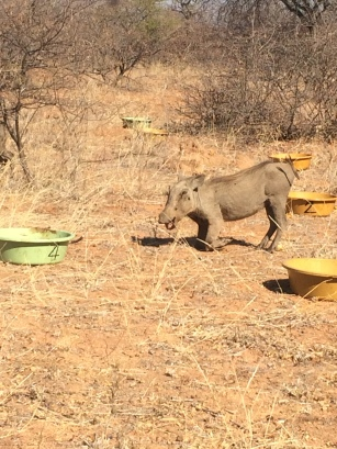 Warthog tucking in