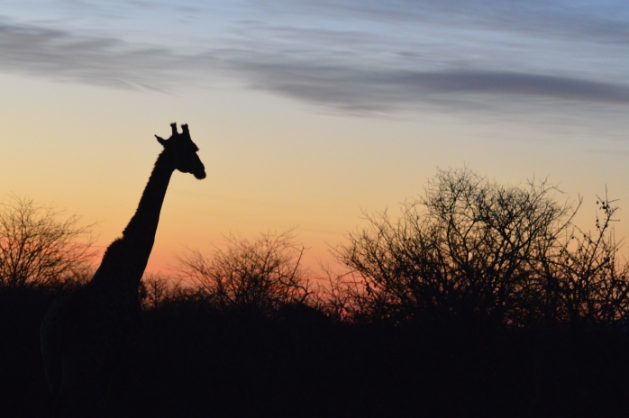 Giraffe watches the sunset
