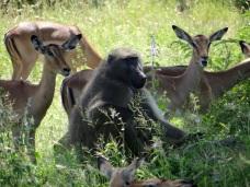 Chacma Baboon and Impala
