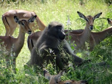 Chacma Baboon and Impala