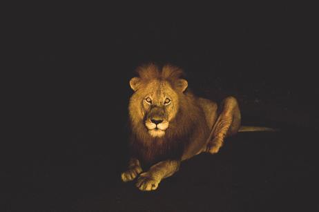 Night time lion