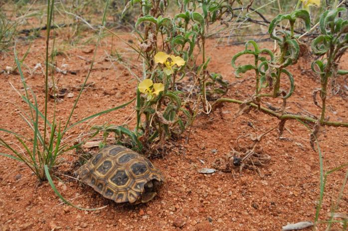 Speke's hinge-backed tortoise (Kinixys spekii)
