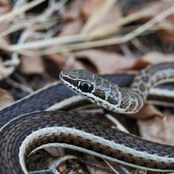 Western stripe-bellied sand snake (Psammophis subtaeniatus)