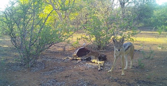 Black backed jackal over a carcass