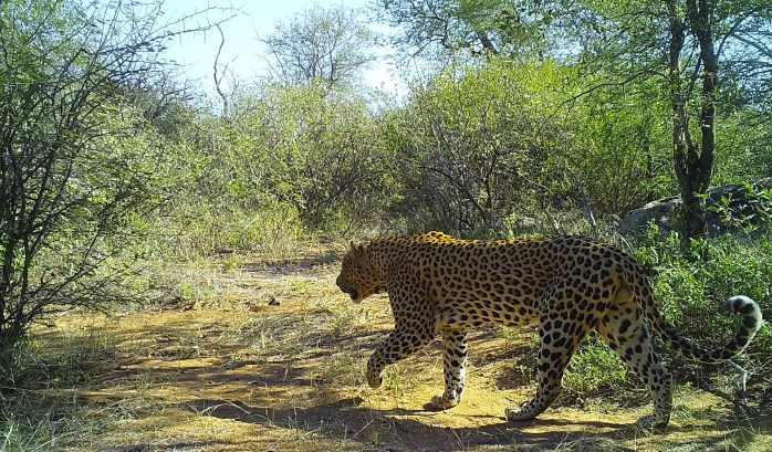 A male leopard stalks through the bush