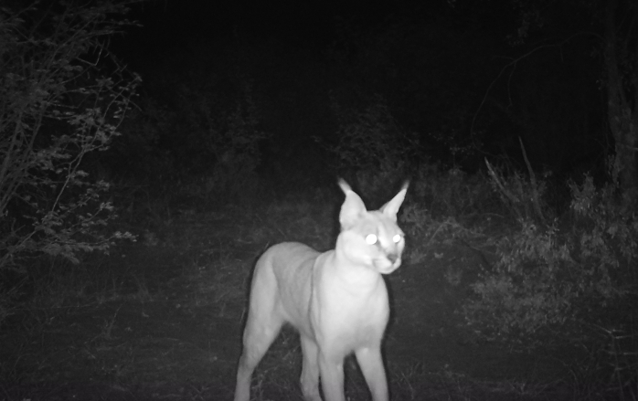 A caracal approaches a camera trap