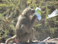 A baboon excavates for remains in a milk carton