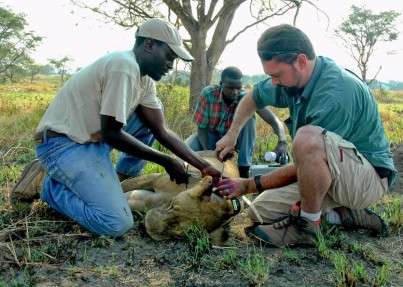 Dr. Luke Hunter, Mustapha Nsubuga, and Joel Ziwa setting a radio collar on a lioness in Uganda (left) (©A. Plumptre/WCS)